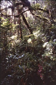 Moss forest in Finisterre Range, Papua New Guinea
